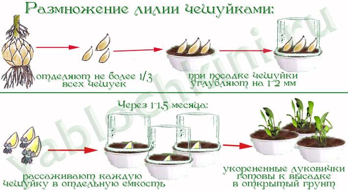 Как размножать лилию