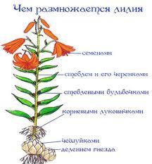 Лилия выращивание из семян