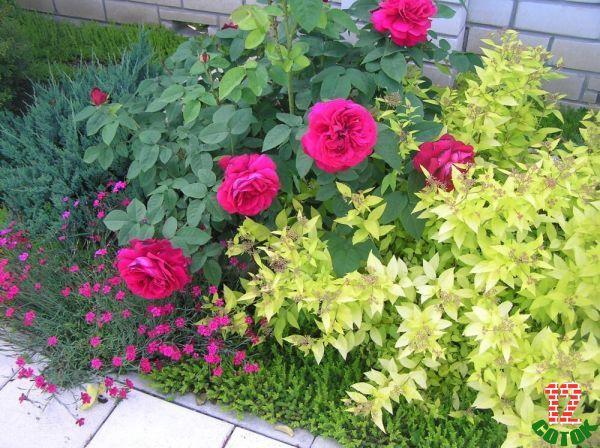 Роза с какими цветами рядом сажать фото